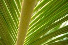 铁树叶的功效作用及食用方法、药方大全