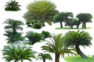 【铁树专题】铁树种植技术|病虫害