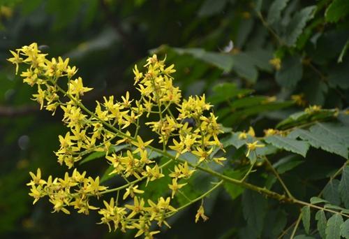 栾树常见病虫害防治