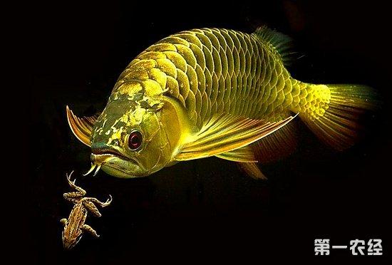 金龙鱼产地是哪?