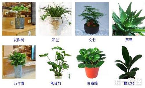 能凈化空氣的室內植物有哪些?凈化空氣植物大全(圖)