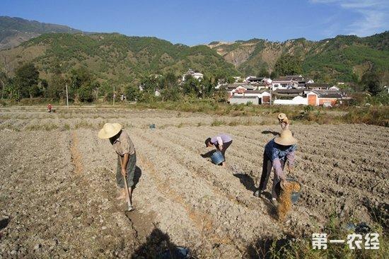 云南临沧凤庆大力发展特色现代化农业图片