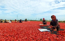 """新疆焉耆番茄""""游""""国外 5.09万亩工业番茄销售好"""