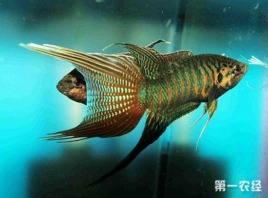 什么鱼好养?(图:小编朋友家养了满满一池斗叉)-什么鱼好养