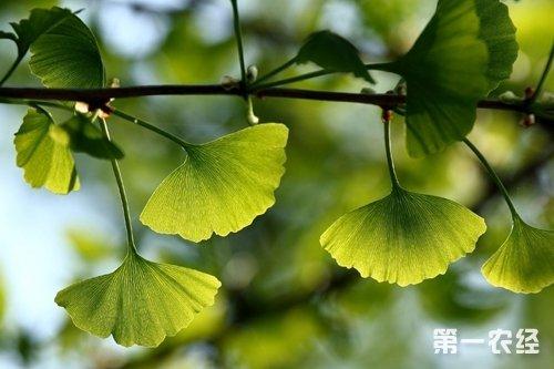 银杏树叶的作用_银杏叶的功效与作用 - 种植技术 - 第一农经网
