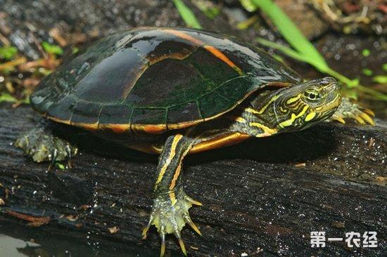 尽量和龟的体温相当,龟是冷血动物吃太冷太热的食物