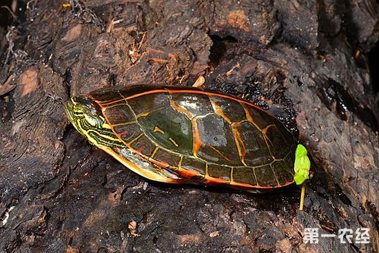 乌龟是水陆两栖动物,因此乌龟居住的地方要比较潮湿