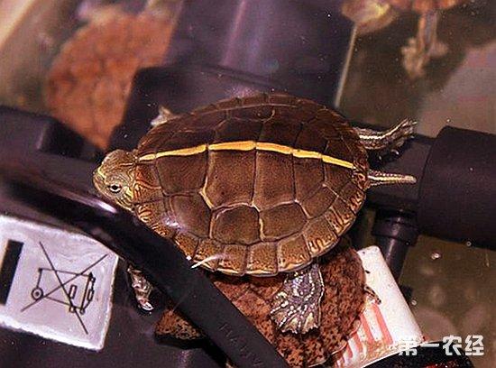 要保持龟缸四周沙子的湿度,以便它更好的冬眠.夏天要采取一些