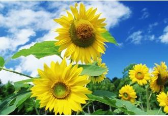 向日葵的花语、花期等问题汇总