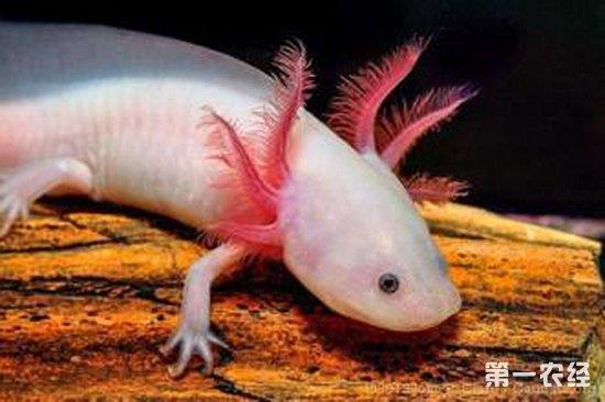 钝口螈中的有些种类终生保持幼体特征而生活于水中