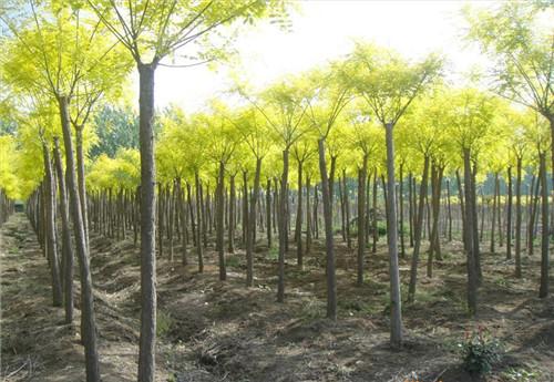 金丝垂柳_常见的绿化苗木品种大全【图文】 - 种植技术 - 第一农经网