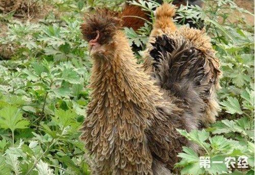 名贵观赏鸡品种:龙鳞鸡
