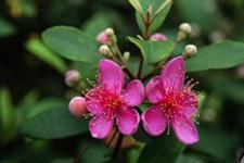 桃金娘可以人工种植吗?桃金娘种植技术