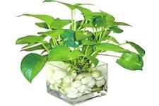 水培植物怎么养护?