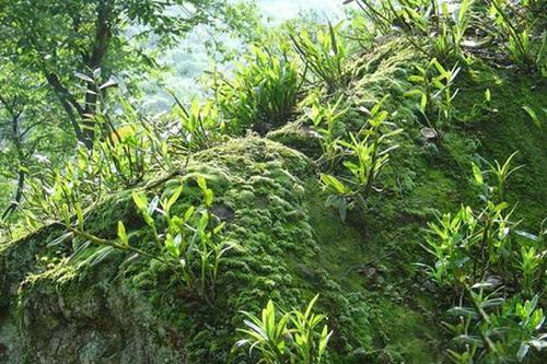 贴树栽培的密度一般按30~40厘米一窝进行栽种,为防止风吹和雨水冲刷