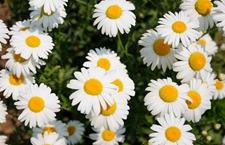 小雏菊怎么养?雏菊的养殖方法和注意事项