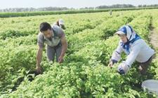 黑龙江梅里斯区甜菇娘丰收农民忙采摘 亩创收5000元