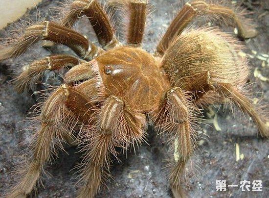 世界上最大的蜘蛛有多大?