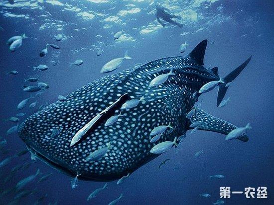 世界上最大的鱼有多大?