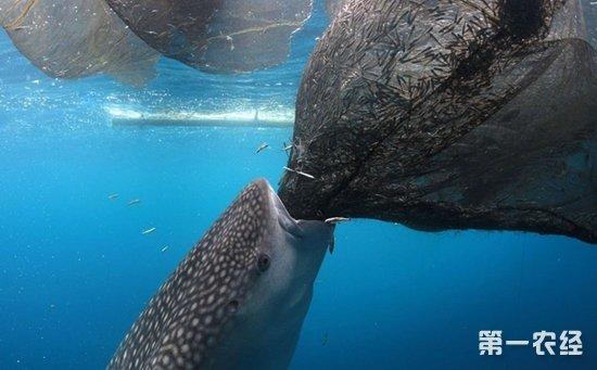 【世界上最大的鱼是豆腐鲨?】豆腐鲨是鲸鲨的俗称,鲸鲨科鲸鲨属的唯一种。体庞大,是世界上最大的鱼类,一般10米左右 ,最大者可达20米。每侧2个显著的皮嵴。口巨大,前位,上、下颌具唇褶。鼻孔位于吻端两侧,出水孔开口于口内。眼小。喷水孔小,位于眼后。牙细小而多,圆锥形,齿头向后倾斜,多行在使用。鳃孔很宽大。背鳍2个,无硬棘。尾鳍宽短 ,叉形;尾柄两侧各具一侧褶,尾椎轴上翘,尾基上方具一凹洼。胸鳍宽大。体灰褐,赤褐或青褐色,具许多黄色斑点和条纹。