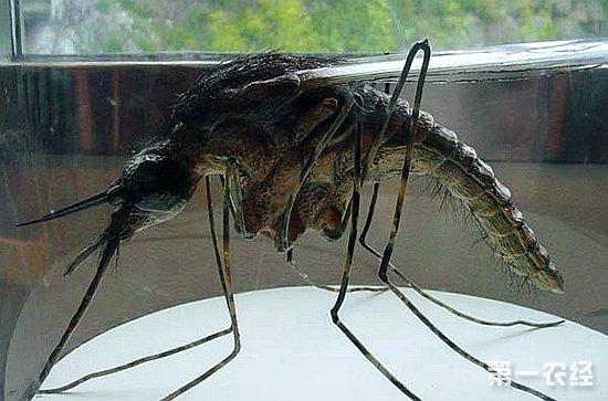 世界上最大的蚊子_世界最大的蚊子