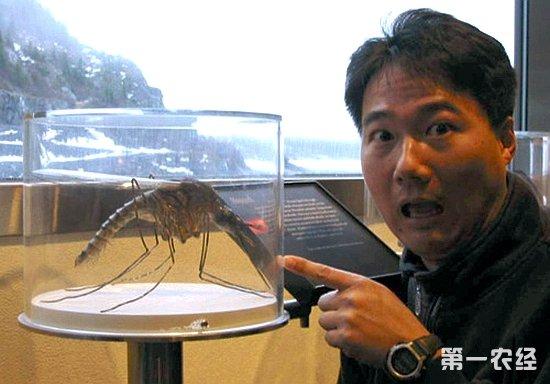 世界上最大的蚊子 在东京博物馆