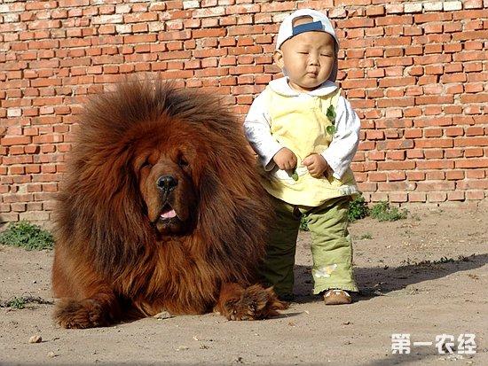 以发源地南斯拉夫的大麦町地区命名。相传其祖先源自埃及或印度,后来遍及整个欧洲,成为大麦町的地方犬。大麦町犬是少数起源于南斯拉夫的犬种,无论外观的表徵或脸部的表情都与孟加拉波音达非常相似。由在古埃及、希腊时期所遗留下来的浮雕和各种遗迹中均发现大麦町犬原始祖先的形象,所以证实了它是属于相当古老的犬种,虽然目前它已是众所公认的伴侣犬,但是在十八世纪初期它是南斯拉夫境内相当重要的拖曳犬,更早的中世纪时期则是驰骋原野的知名狩猎犬。19世纪,英、法等国的贵妇人将它当作护卫马车的爱犬。相信任何人都会对一身白底黑点的