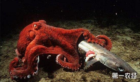 一般章鱼的平均寿命为3岁