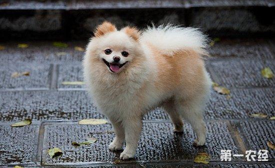 博美犬的寿命是多长?