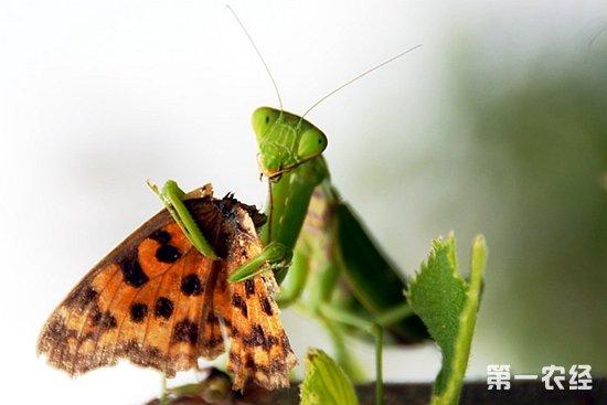 一点资讯_螳螂吃什么食物? - 养殖技术 - 第一农经网
