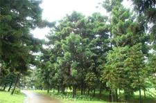 世界五大公园树种是哪五种?5大树种介绍【植物