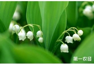 风铃草有哪些种类?风铃草的花语是什么?