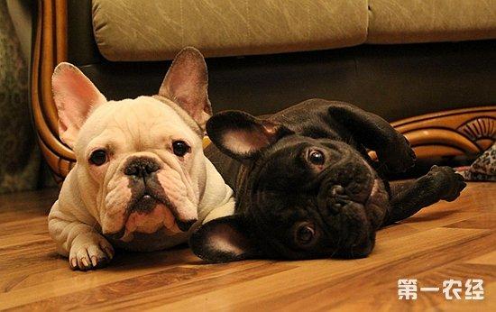 中国冠毛犬  Chinese Crested Dog  虽然称之为中国冠毛犬,但据说原产地不是中国,有的说法是来自墨西哥,也有的说来自非洲。因在给这种犬起名的人认为该犬的头上那束毛冠类似中国清朝官员的帽子,由此而得名。该犬是犬中之稀有品种,外型极为奇特,全身除头顶,尾部和脚趾间有少许柔软的装饰毛外,其它部分均裸露无毛,皮肤颜色较深并有斑块。中国冠毛犬性格活泼忠实,温顺,机灵而清高,不喜欢打斗,清洁但很怕冷,该犬因稀少而特别珍贵。中国冠毛犬不但外型奇特,有的行为也很怪异。比如它甚至能用前爪抓东西,姿态酷