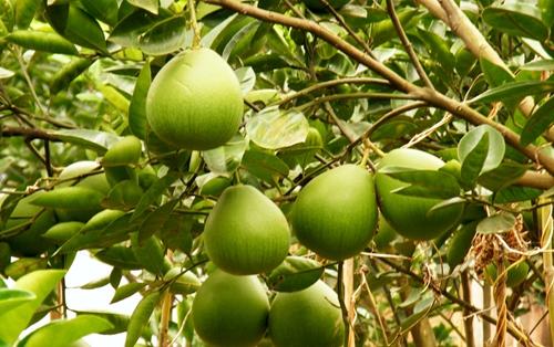 柚子树怎么种 柚子树栽培种植技术