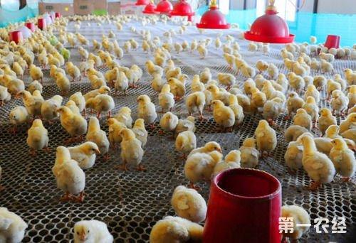 专家预测:2015年养鸡市场前景