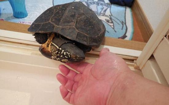 这些没受精的蛋,足足有一打.-龟友日本草龟家里下乌龟蛋