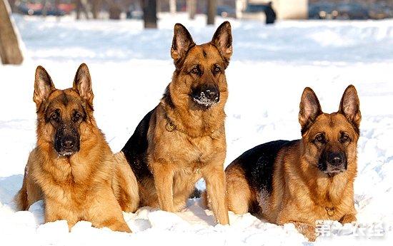 狼狗种类有哪几种?(图:)
