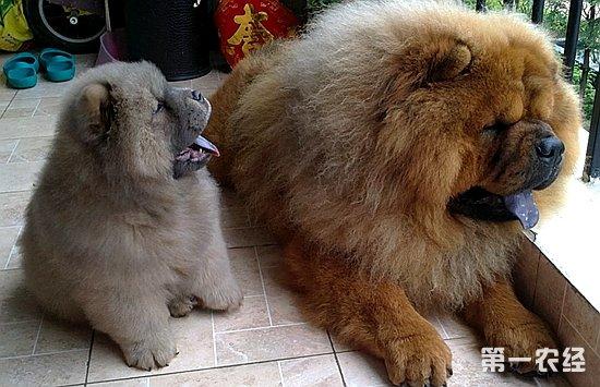 松狮犬怎么看纯种_纯种松狮犬怎样辨别? - 养殖技术 - 第一农经网