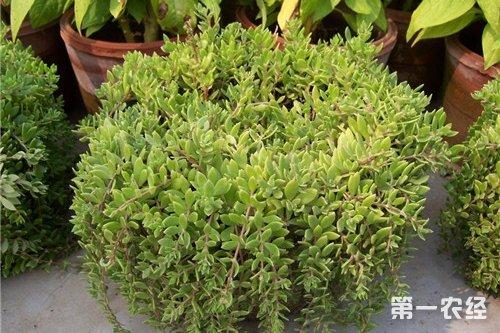 垂盆草种植,垂盆草吊兰的养殖方法和注意事项