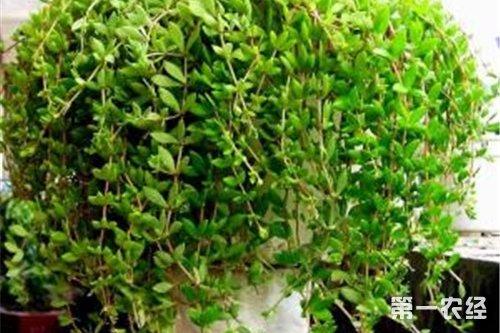 垂盆草常见病虫害及其防治方法