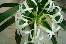 石蒜科植物有哪些?