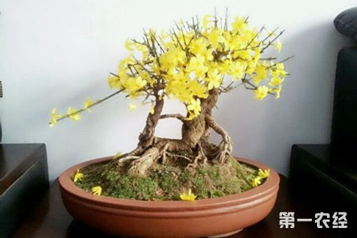 迎春花怎么养,迎春花的养殖方法和注意事项有哪些