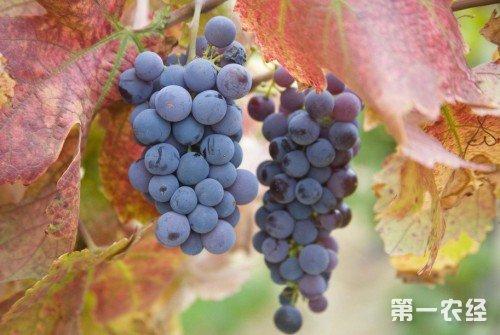 秋天成熟的水果有哪些图片