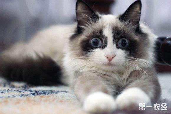 【你适合养布偶猫吗?】布偶猫外形可爱,性格温顺,是非常好的家庭宠物伴侣。它有着很强的忍耐力,因此布偶猫受到的很多的伤害都容易被忽视。布偶猫不会像人一样通过语言表达出来,只能将不快了和伤心留在心底。因此饲养布偶猫最主要的是要求主人有更多的时间陪伴它,给它关系和细致的照顾。