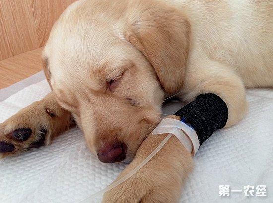 犬瘟热中医治疗方法