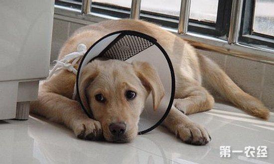 犬瘟热传染人吗? - 动物医学