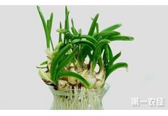 水仙花怎么养?水仙花的养殖方法和注意事项