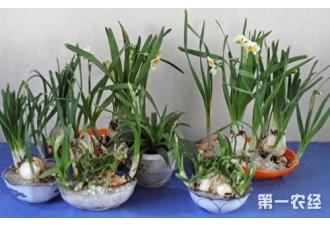 水仙花有毒吗?水仙花的花语是什么?