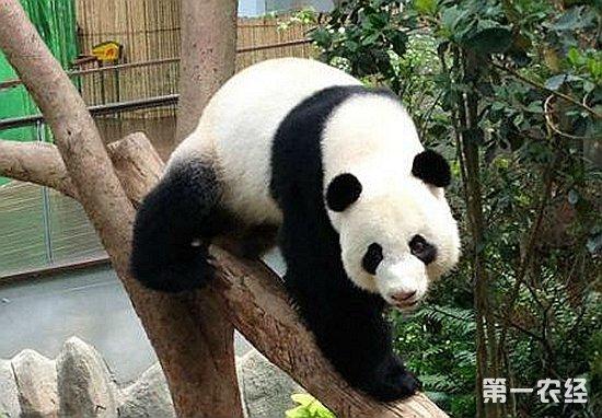 """美餐一顿,甚至大摇大摆闯入居民住宅,偷吃食物。大熊猫性情孤僻,喜欢独居,昼伏夜出,没有固定的居住地点,常常随季节的变化而搬家。春天一般待在海拔3000米以上的高山竹林里,夏天迁到竹枝鲜嫩的阴坡处,秋天搬到2500米左右的温暖的向阳山坡上,准备度过漫长的冬天。每年的四五月份是大熊猫的繁殖季节,雄、雌大熊猫难得同居在一起。但5月一过,便又各奔东西。雌性大熊猫怀孕4-5个月左右,就急着寻找树洞或石穴作为""""产房"""",它每胎产1-2仔。刚生下的幼仔重量只有150克左右,相当于妈妈体重的1&pe"""