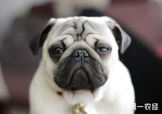 【小编点评】可爱的巴哥犬,让越来越多都市生活的人喜欢,除了